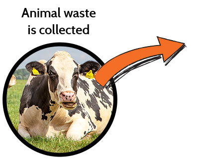 Animal waste is collected