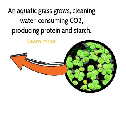 An aquatic grass grows, cleaning water and producing CO2.